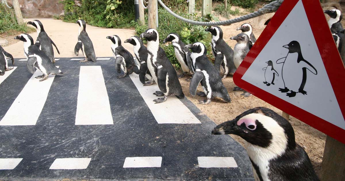 Living-Coasts-penguin-crossing