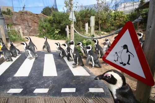 Living Coasts penguin crossing